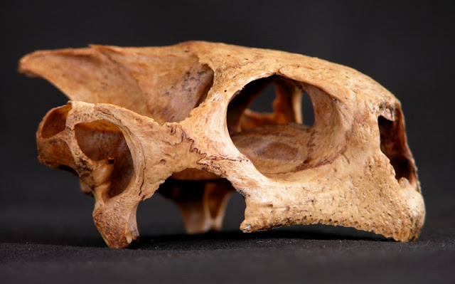 Extinct tortoise yields oldest tropical DNA