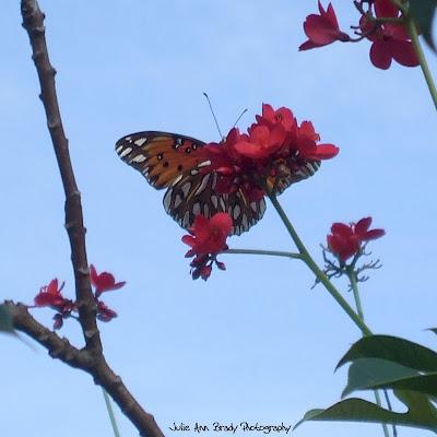 Gulf Fritillary Butterfly Underside - Discovery Gardens