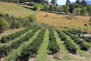 Now add tea to Tasmania's list of gourmet beverages