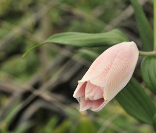 gerbera net roselily