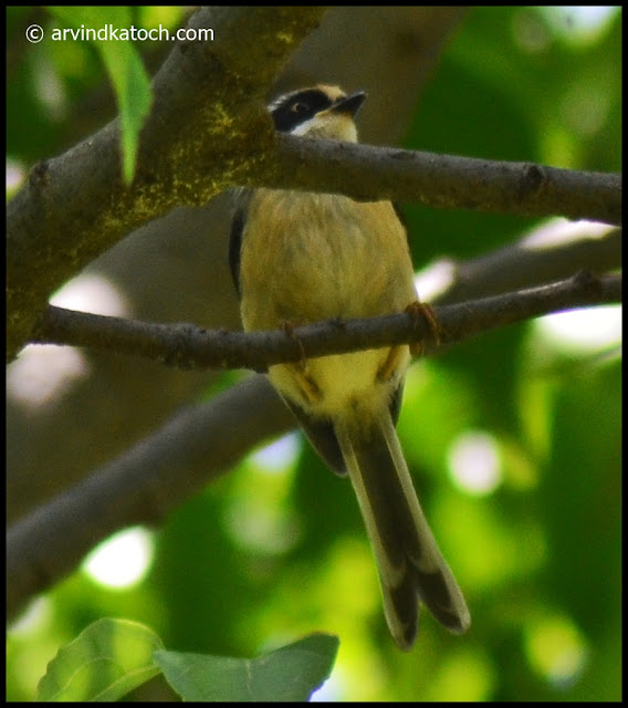 Bottom, Black-throated Tit