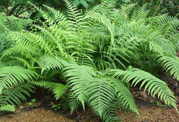 Ciri dan Fungsi Tumbuhan Paku sebagai Tumbuhan Berpembuluh