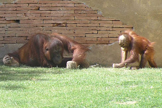 Orangutanes del biopark de Fuengirola.