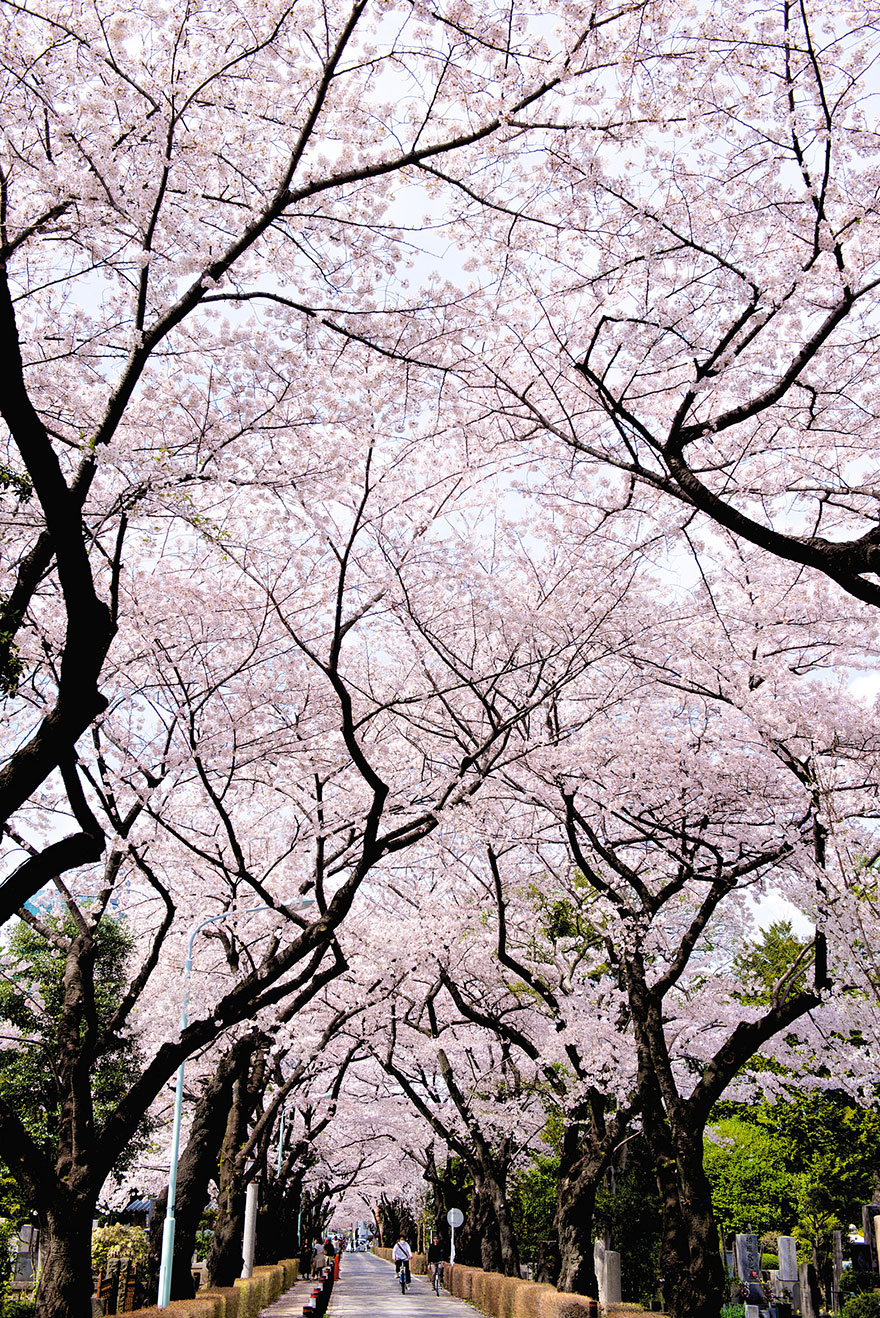cherry-blossom-sakura-20