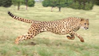 fakta tentang cheetah