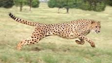 Ini Dia 13 Fakta Tentang Hewan Cheetah, Hewan Pelari Tercepat di Dunia