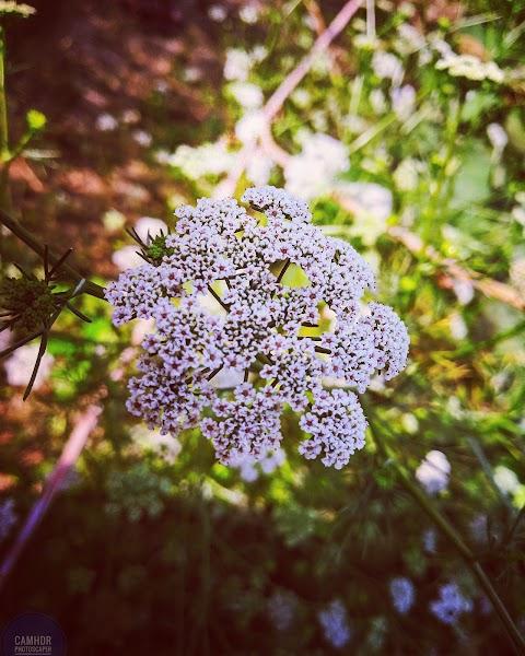 coriander flower