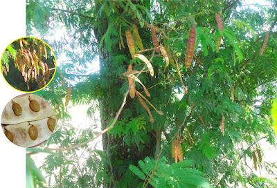 Senegalia praecox