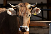 peluang usaha ternak, peluang bisnis ternak, usaha ternak, bisnis ternak, ternak yang menguntungkan, ternak sapi, sapi, sapi unggul