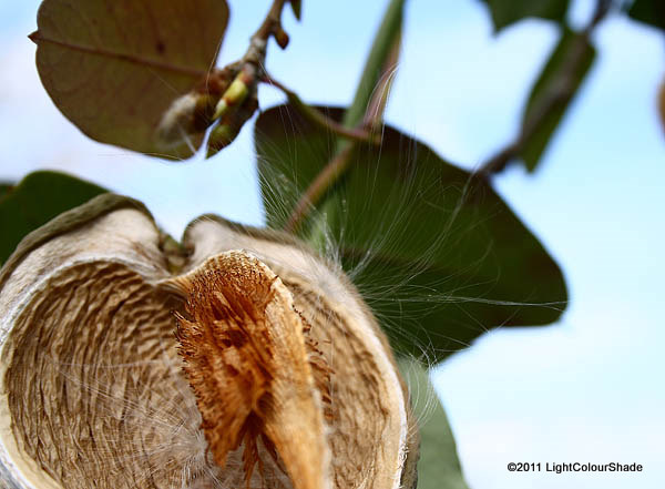 Moth plant open seed pod with the last seed