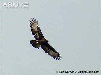 Gurney´s Eagle