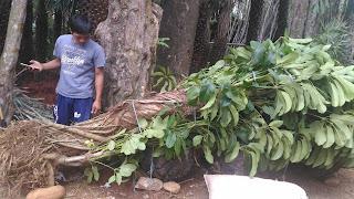 Pohon walisongo