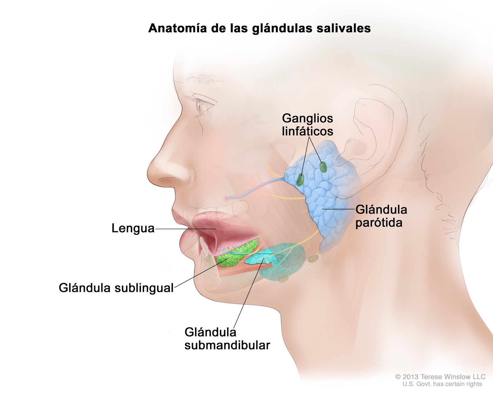 Anatomía y fisiología humana: APARATO DIGESTIVO