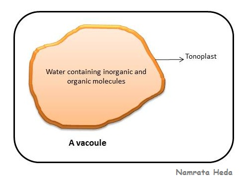 a diagram of a cochlea spiral organ region of diagram of a vacuole b for biology: vacuole