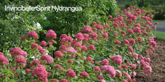 This Plant Is A Changer Just Like You It S The Very First Pink Flowered Form Of Annabelle Hydrangea