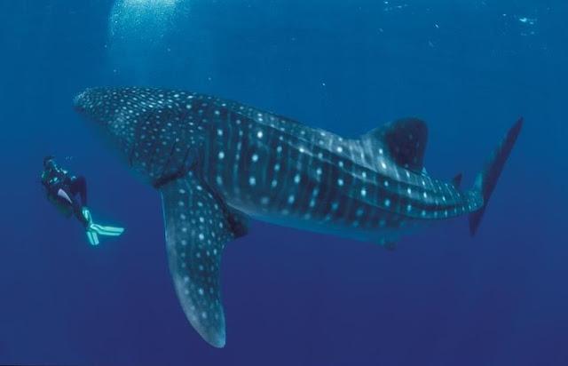 walvishaai, de grootste vis ter wereld, haaien, plankton etende haaien, reizen naar de filipijnen