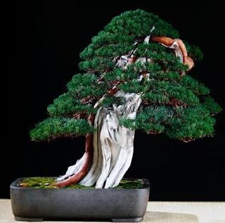 Shari Bonsai style (Sharimiki)