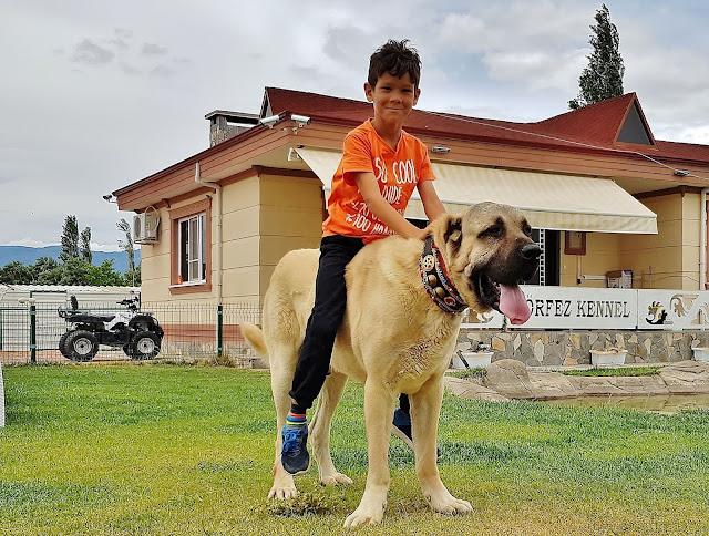 كلب الراعي التركي أسد الأناضول المشهور عالمياً