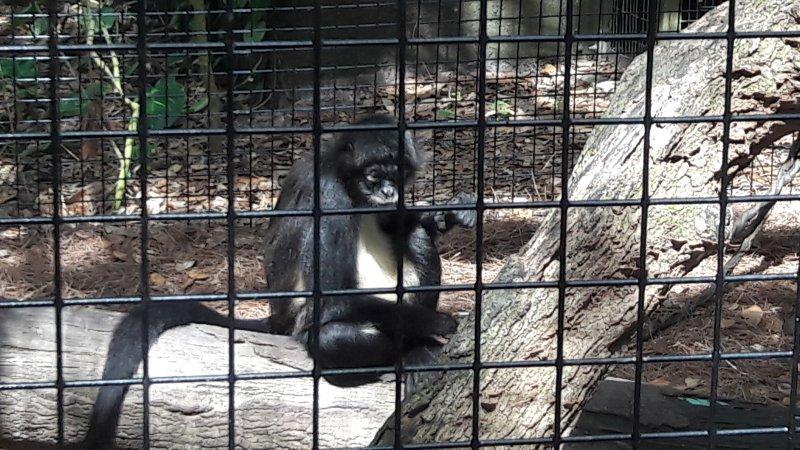 Monkey at The Brevard Zoo