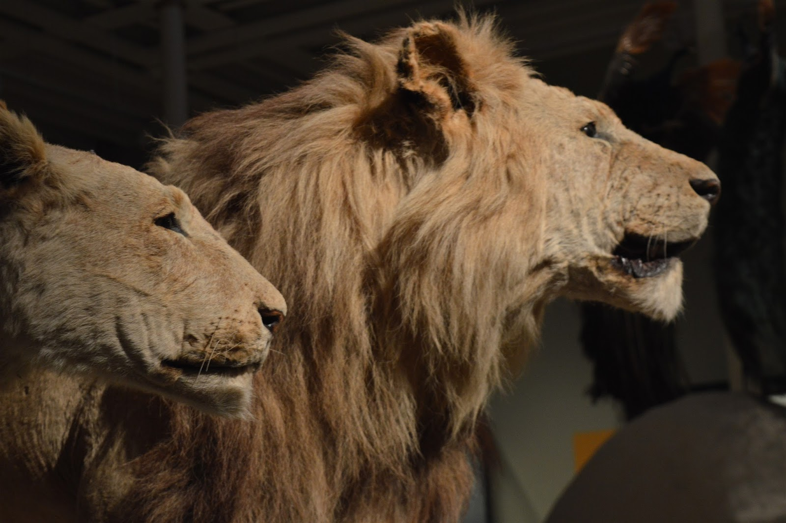 The National Museum of Scotland Lions