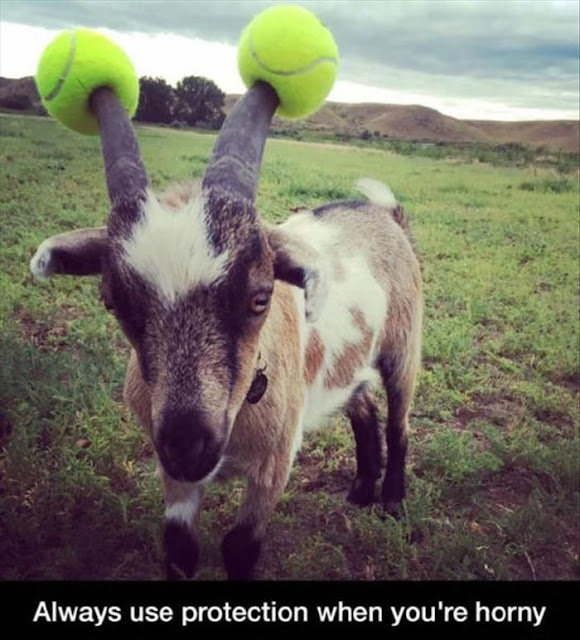 Funny Goats Always Use Protection When Horny Joke Picture