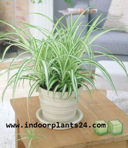 Liliaceae  SPIDER PLANT indoor house plant image