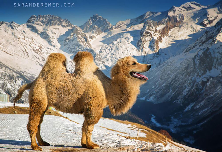 The Golden Camel