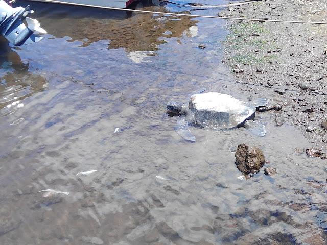 Tortuga en Hanga Piko, Isla de Pascua