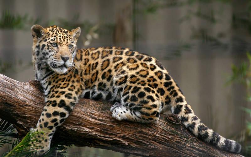 Μυστήρια υπόθεση στο Αττικό Ζωολογικό Πάρκο: Φροντιστές εκτέλεσαν δυο ιαγουάρους