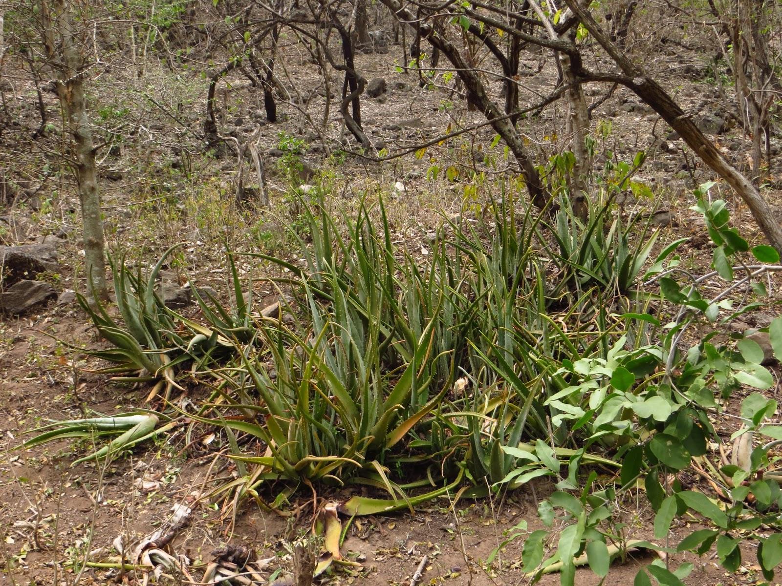 La botica del semidesierto la s bila es una planta for Que significa plantas ornamentales