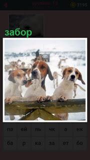 построен забор за котором на задних лапах стоят собаки
