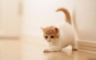 cute-cat-wallpaper-white-cat-kittens