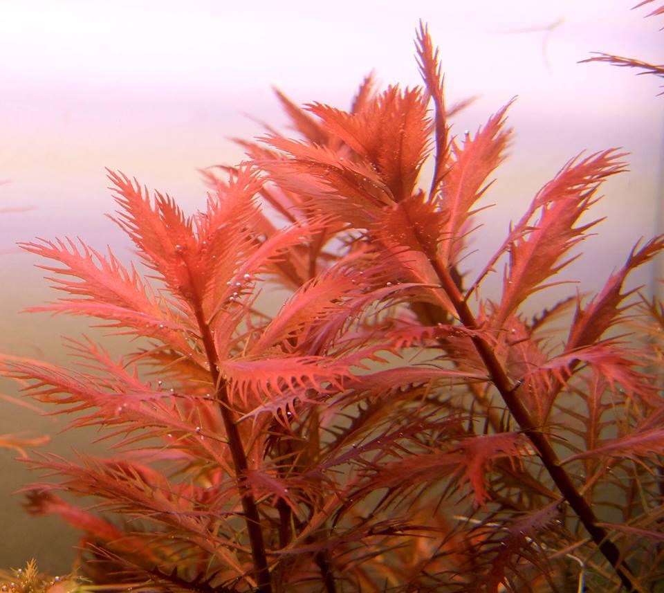 Cận cảnh vẻ đẹp của cây thủy sinh lông chim