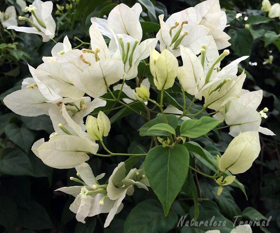 Brácteas blancas de una Buganvilla o Flor de Papel, género Bougainvillea