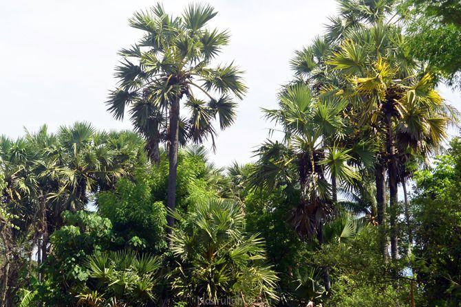 Pohon Siwalan Lontar di kebun warga