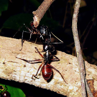 Major workers of Camponotus gigas sparring over territory