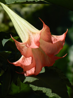 Pink Brugmansia flower at the Toronto Botanical Garden by garden muses-not another Toronto gardening blog
