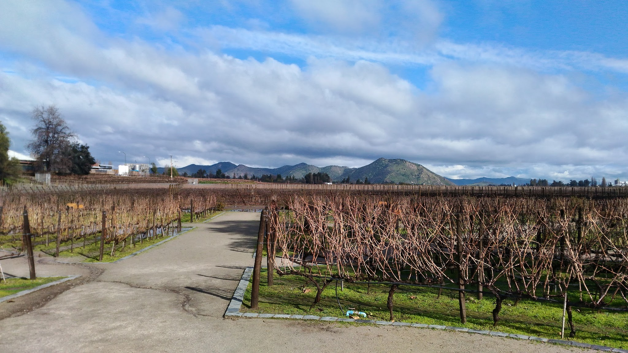 Plantação de uvas concha y toro