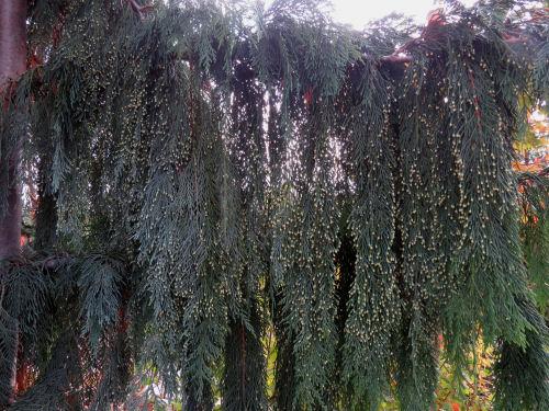 Meijer Garden weeping evergreen