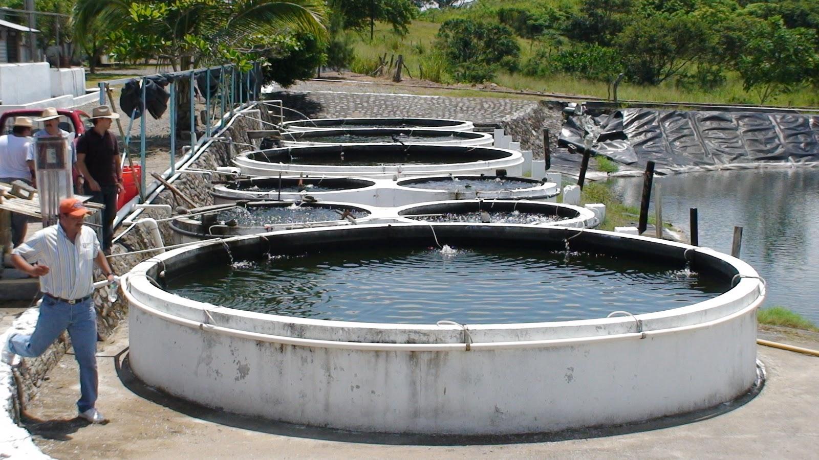 Acuacolombia curso de produccion superintensiva de for Proyecto de tilapia en estanques