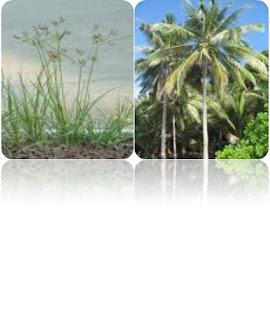 tumbuhan biji belah, biji tunggal,