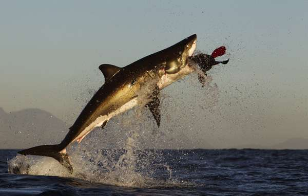 this world we live in: Face off: the great white shark vs
