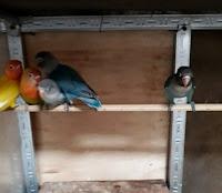 Burung Lovebird Sepasang Baby