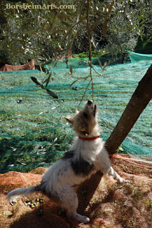 Dog helps with olive harvest - not