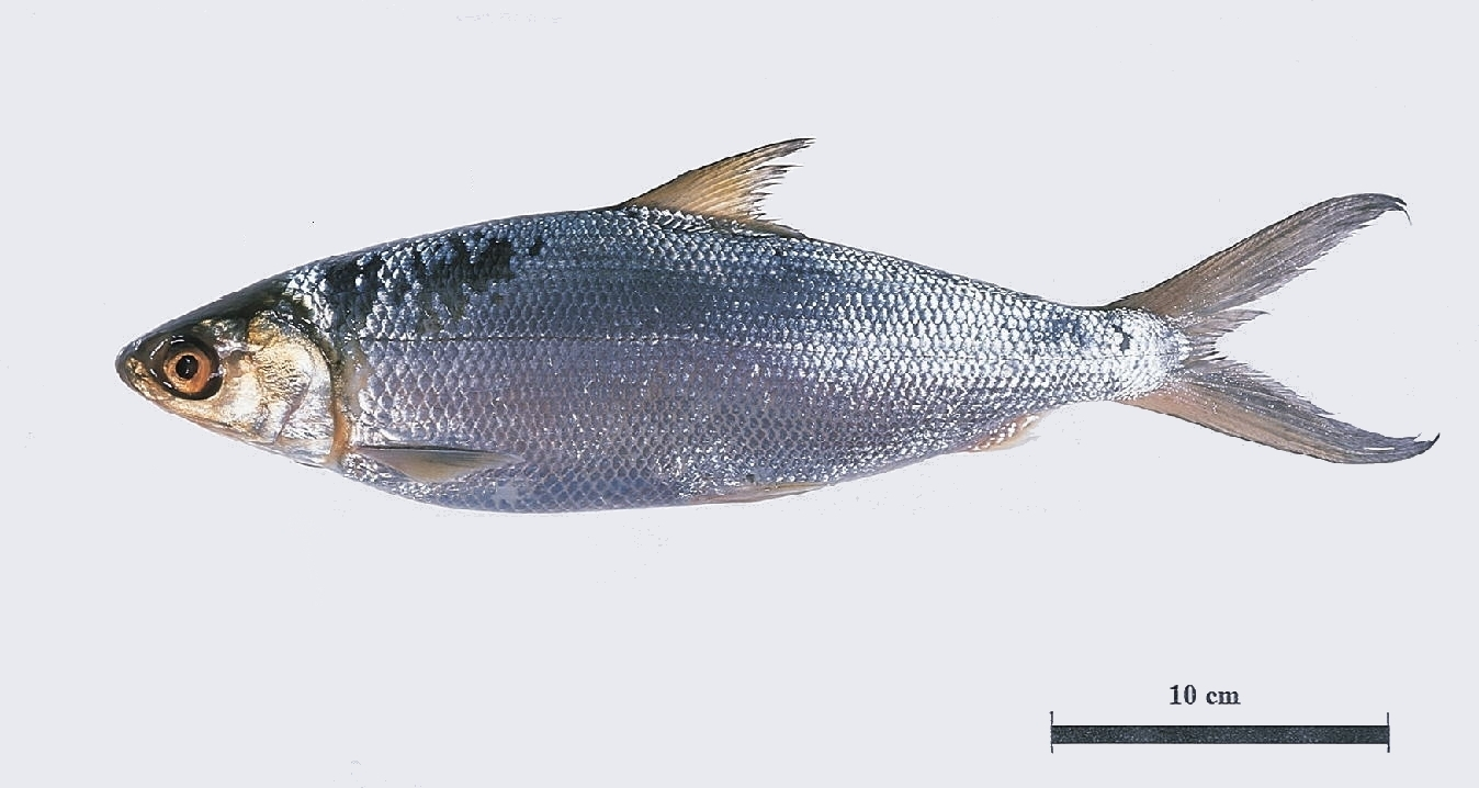 Bangus milkfish philippine food for Scientific name of fish