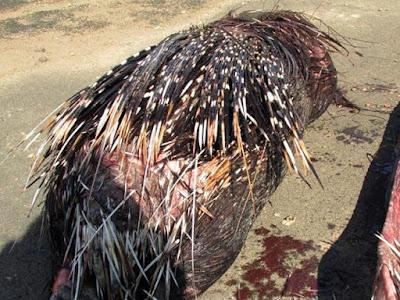 Foto Ular Piton Mati Karena Menelan Landak