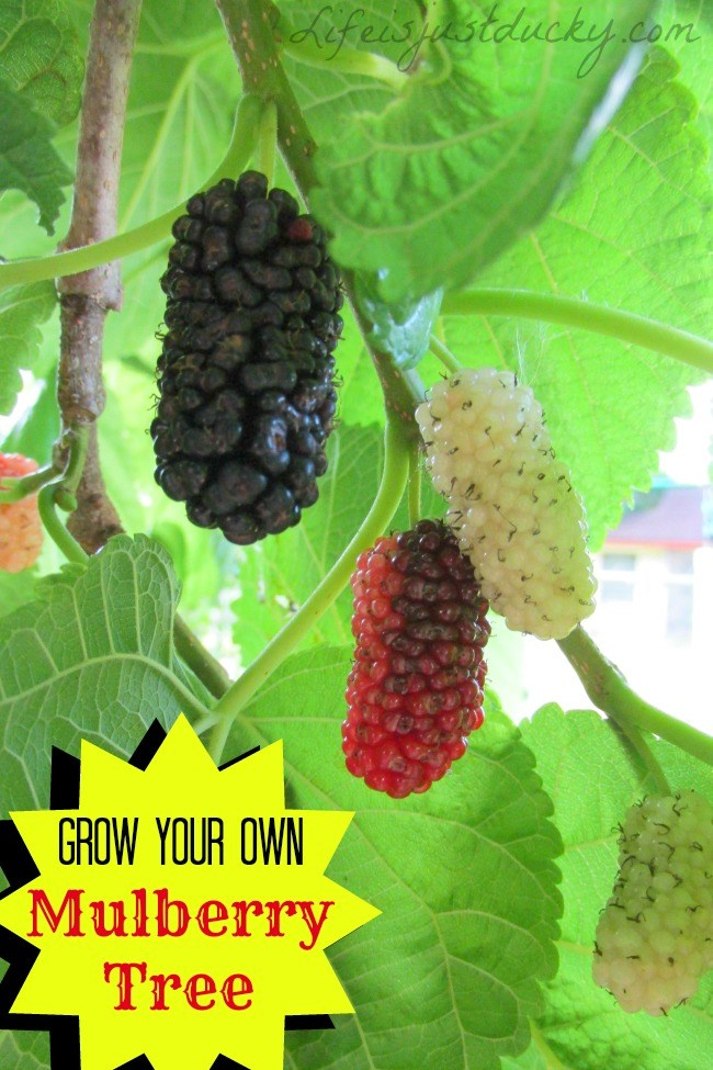 Helpful Tips How To Grow White And Black Mulberry