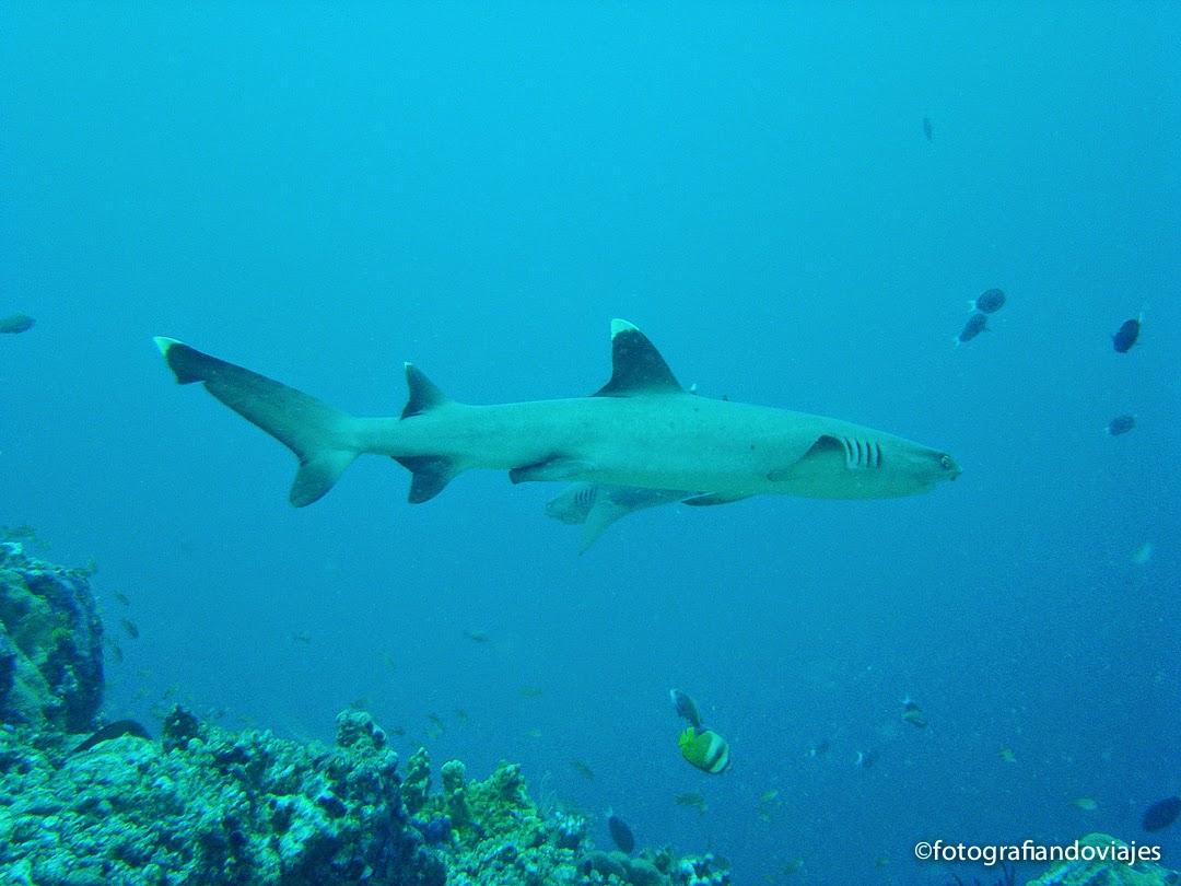 Tiburón punta blanca en Sipadán