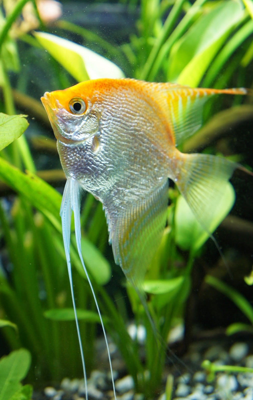Beautiful fishes for home aquarium - photo#42