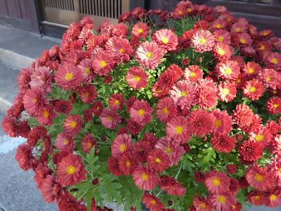 街道菊花祭・ひらかた菊フェスティバル